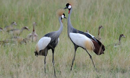 5 Days Uganda Birding Safari
